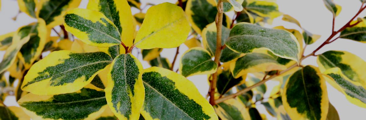 Clifton Nurseries-Elaeagnus-Gilt-Edge-Banner