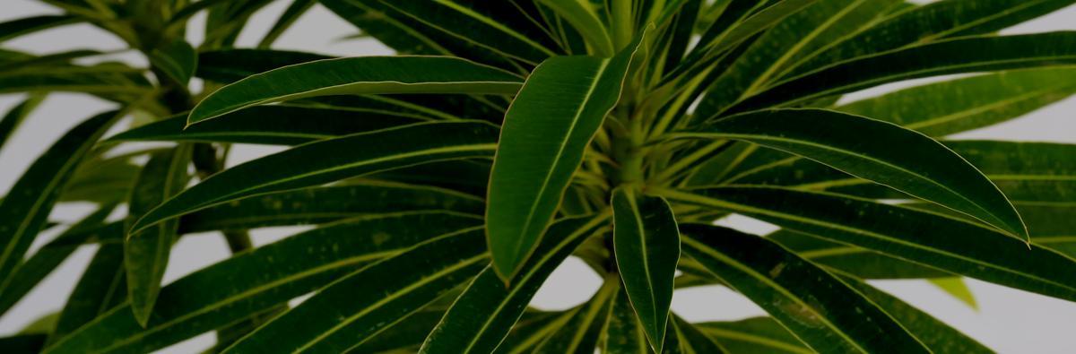 Clifton Nurseries Euphorbia mellifera - Banner