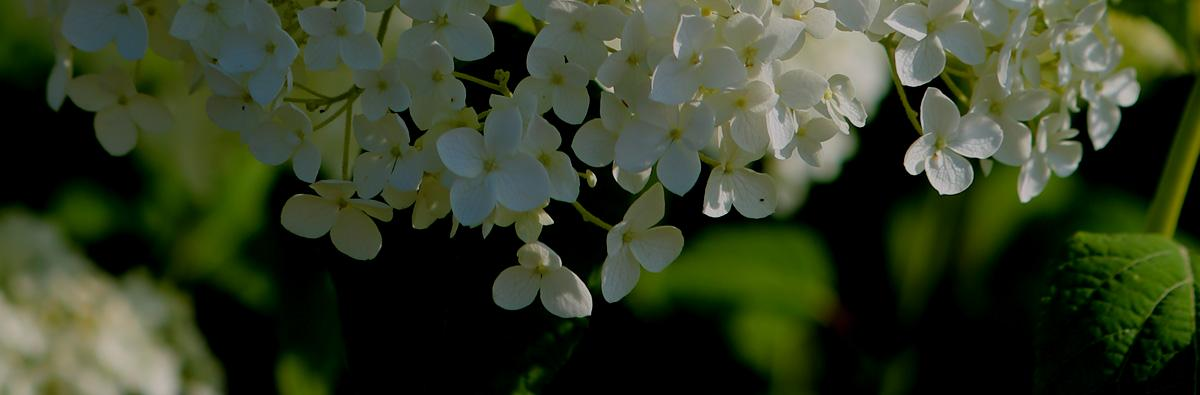 Clifton Nurseries Hydrangea arborescens Annabelle
