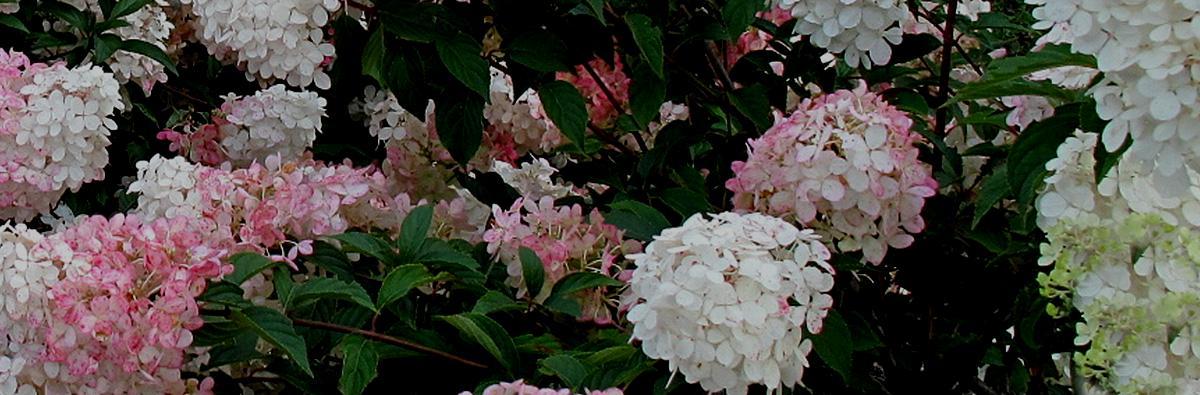 Clifton Nurseries Hydrangea paniculata Vanille Fraise