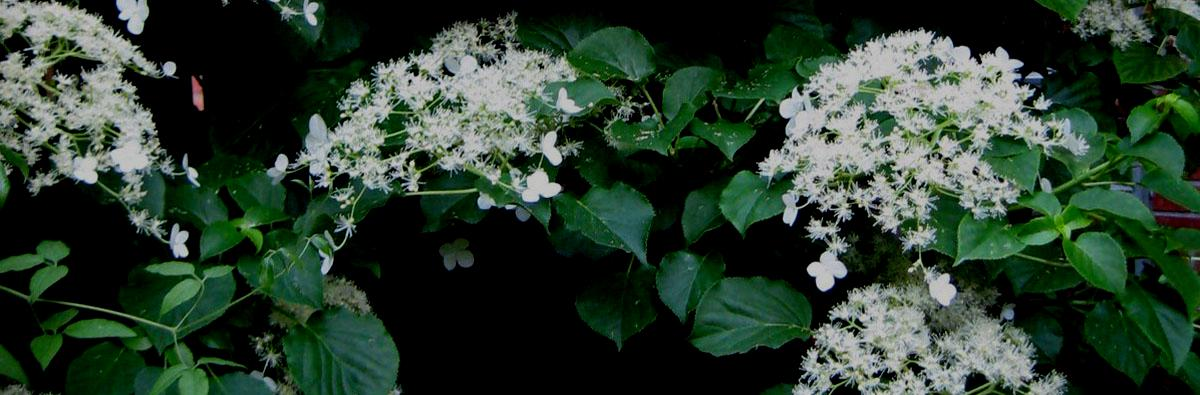 Clifton Nurseries Hydrangea petiolaris - banner