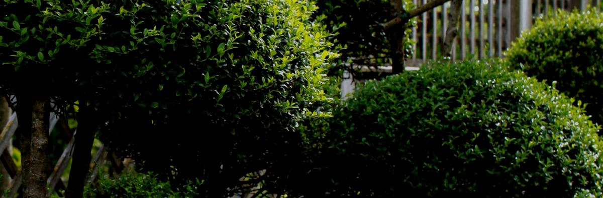 Clifton Nurseries Ligustrum jonandrum - Banner