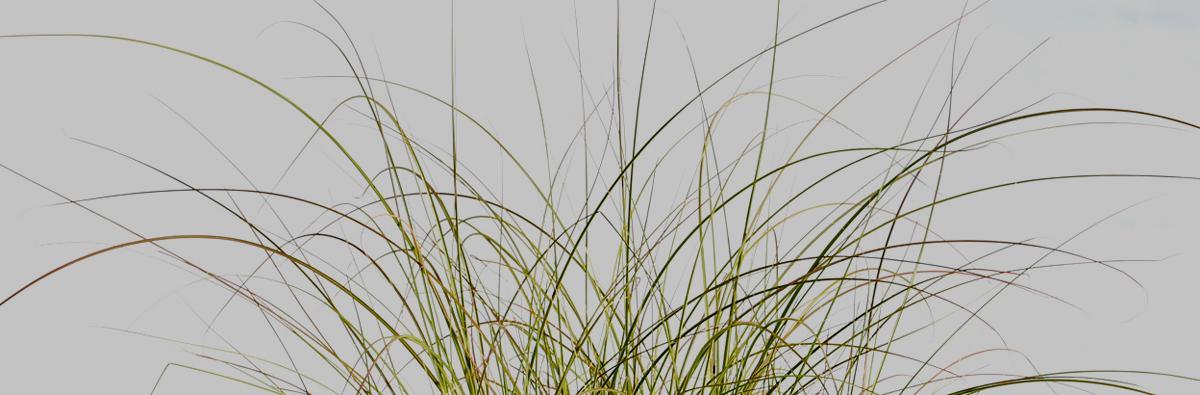 Clifton Nurseries Miscanthus sinensis Morning Light - banner