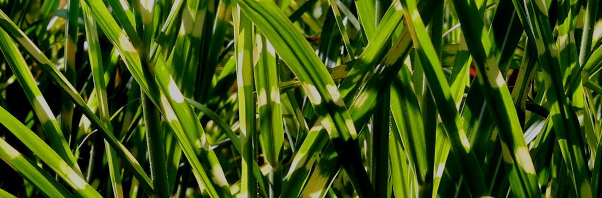 Clifton Nurseries Miscanthus zebrinus - Banner