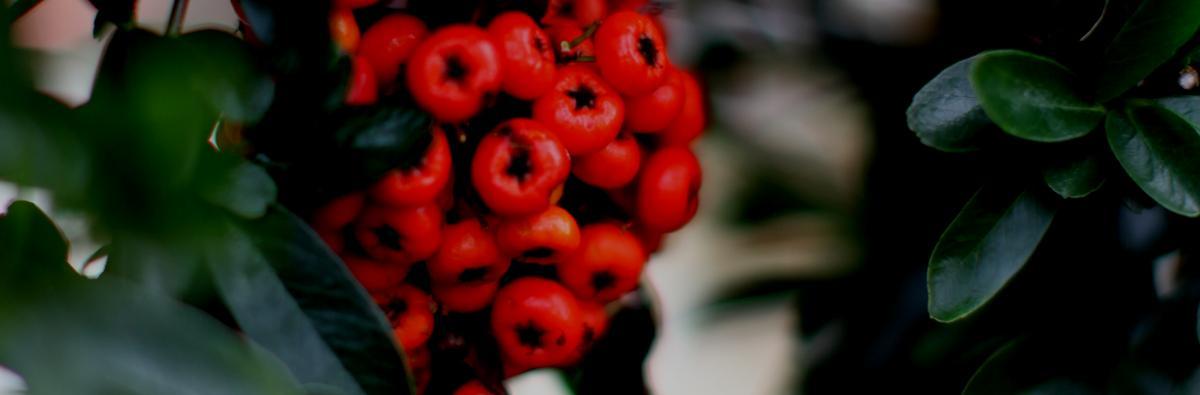 Clifton Nurseries Pyracantha Saphyr Red - Banner