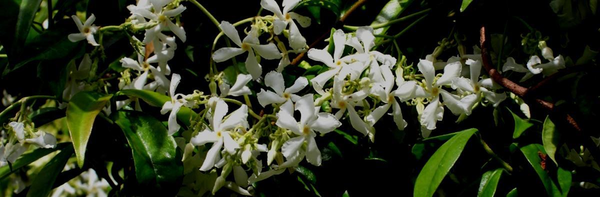 Clifton Nurseries Trachelospermum jasmionoides - Banner