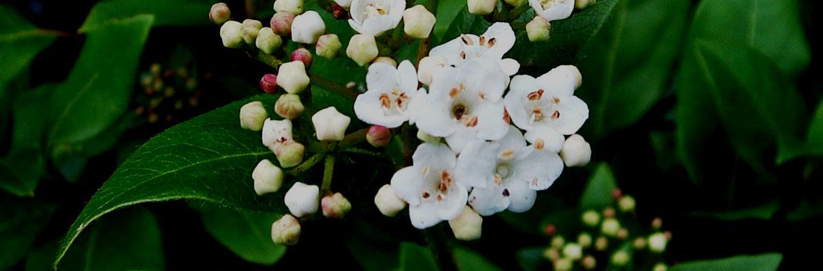 Clifton Nurseries Viburnum tinus Eve Price