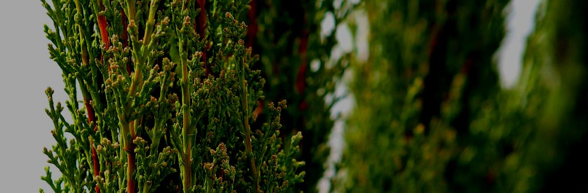 Cupressus sempervirens Totem - 10L 80/100cm | Clifton Nurseries