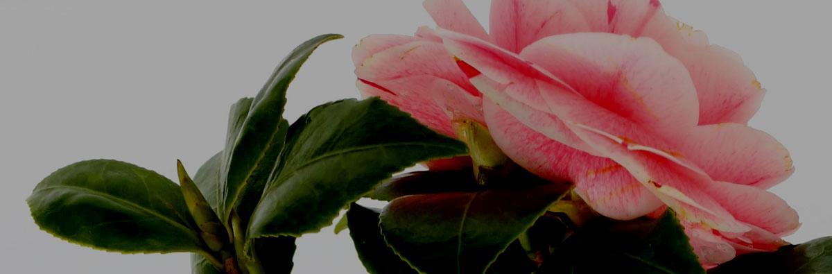 Clifton Nurseries Camellia japonica Bonomiana