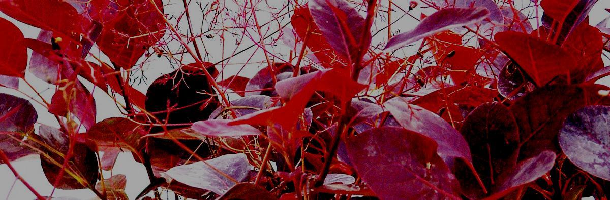 Clifton Nurseries Cotinus Coggygria Royal Purple