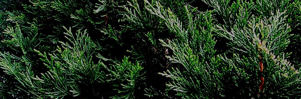 Clifton Nurseries Cupressocyparis leylandii Blue Jeans - Banner