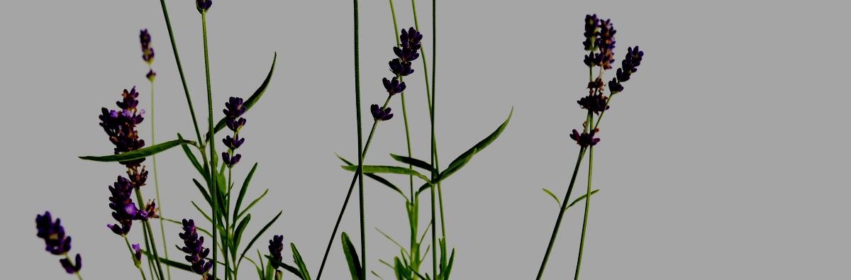 Clifton Nurseries Lavandula angustifolia Hidcote - Banner
