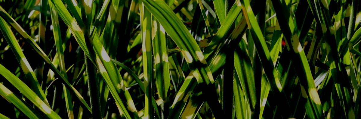 Clifton Nurseries Miscanthus sinensis Zebrinus