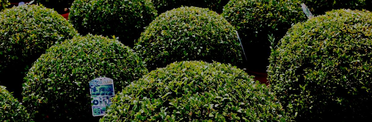 Clifton Nurseries TopBuxus Health-Mix