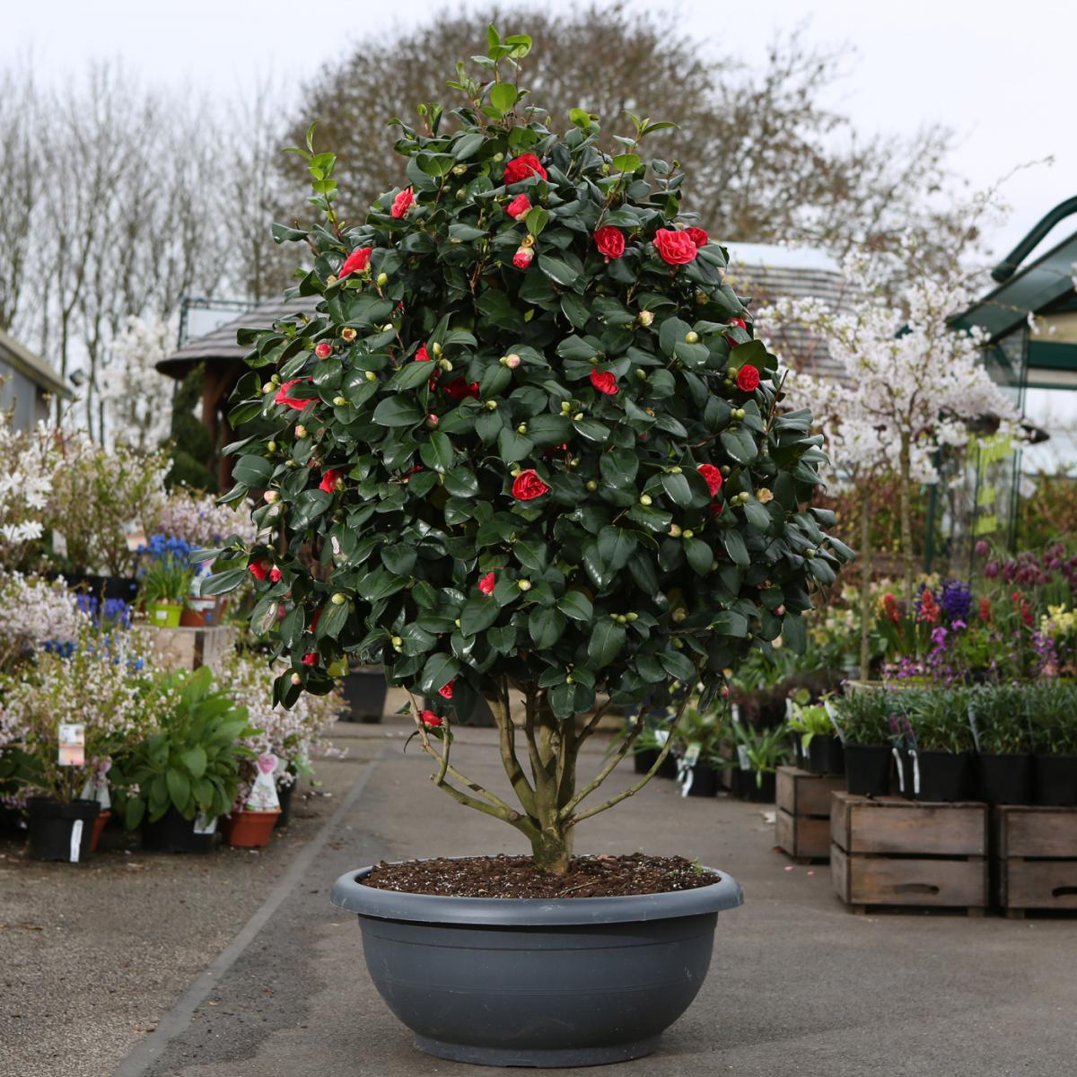 Camellia Japonica Lady Campbell Bonsai Bowl 125cm