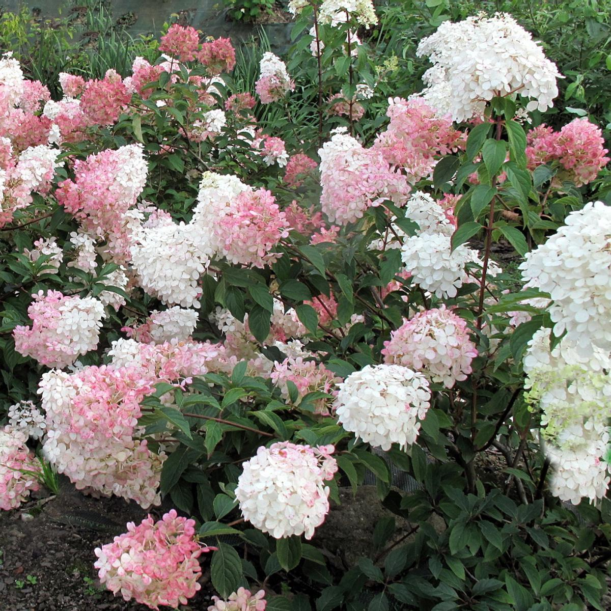 hydrangea paniculata vanille fraise hydrangea vanille. Black Bedroom Furniture Sets. Home Design Ideas