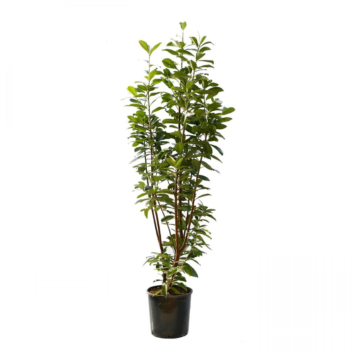 prunus laurocerasus novita cherry laurel bush 18l 125 150cm clifton nurseries. Black Bedroom Furniture Sets. Home Design Ideas