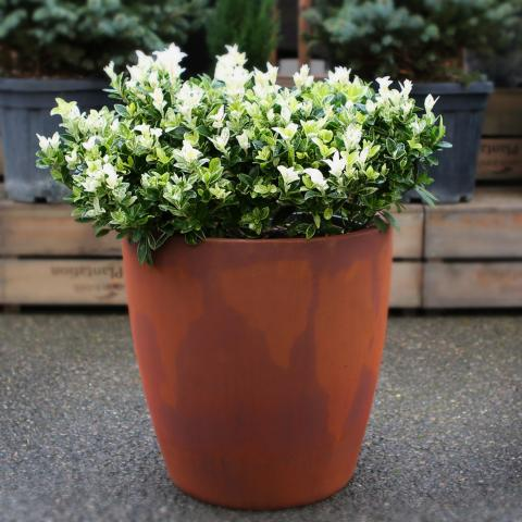 Clifton Nurseries living green cirkik 42cm rust