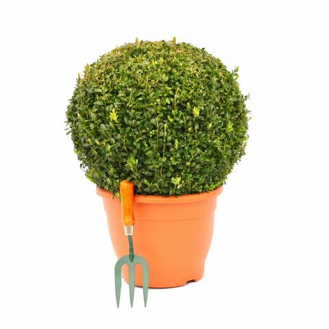 Clifton Nurseries - Buxus Sempervirens Ball 40/45cm