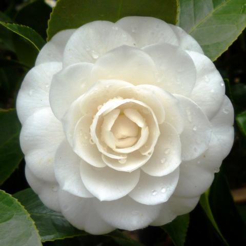 Camellia japonica Perfection White flower