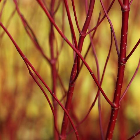 Clifton Nurseries Cornus alba Sibirica stems