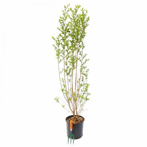 Clifton Nurseries Ligustrum ovalifolium 10L