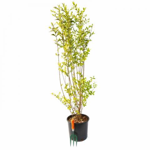 Clifton Nurseries Ligustrum ovalifolium Aureum