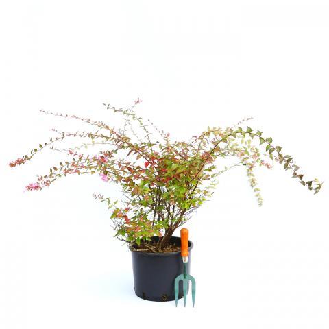 Clifton Nurseries Abelia x grandiflora Edward Goucher 10L