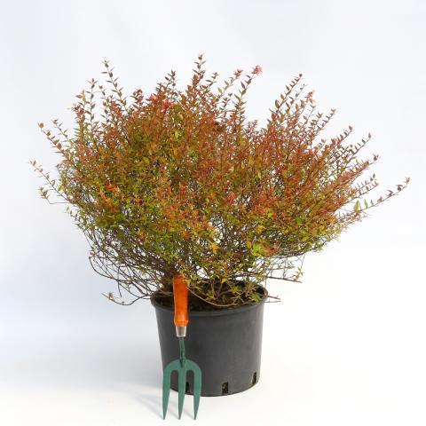 Clifton Nurseries Abelia x grandiflora compacta 10L
