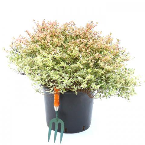 Clifton Nurseries Abelia grandiflora confettii 10L
