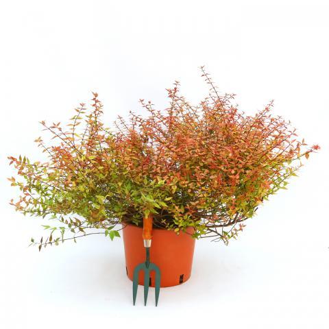 Clifton Nurseries Abelia x grandiflora Kaleidoscope 10L