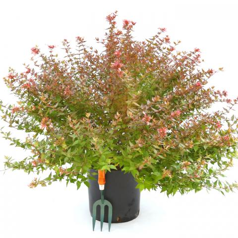 Clifton Nurseries Abelia x grandiflora 10L
