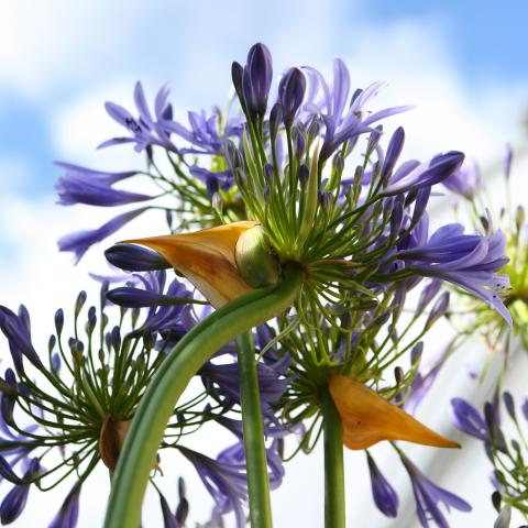 Clifton Nurseries - Agapanthus africanus blue