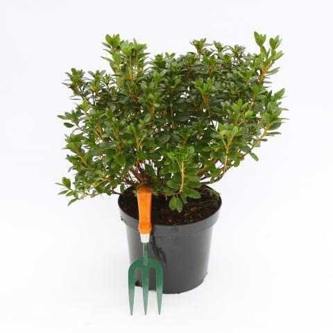 Clifton Nurseries Azalea japonica - 7.5 Litre