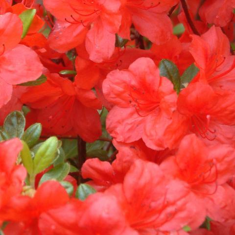 Clifton Nurseries Azalea japonica Johanna