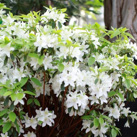 Clifton Nurseries Azalea japonica Mary Helen