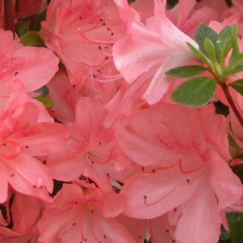 Clifton Nurseries Azalea japonica Rosalind