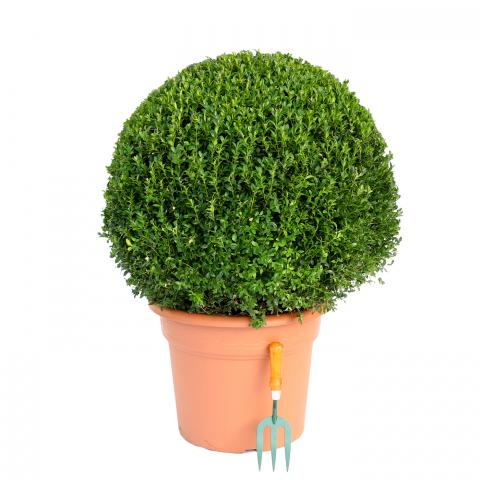 Clifton Nurseries Buxus sempervirens Ball 60-65cm
