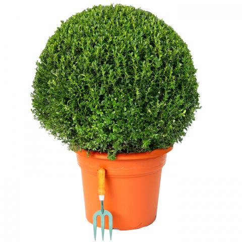 Clifton Nurseries Buxus sempervirens Ball 70-75cm