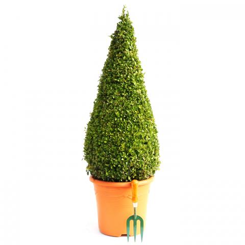 Clifton Nurseries Buxux sempervirens cone 10LT