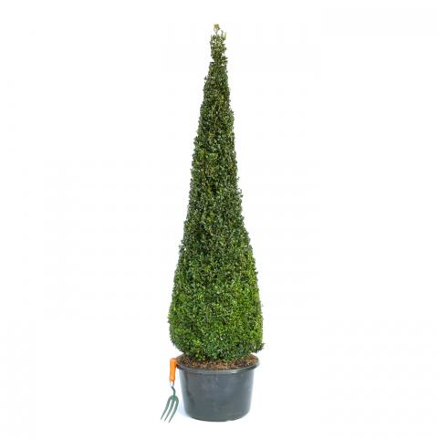 Clifton Nurseries Buxus sempervirens Slimline Cone - 150cm