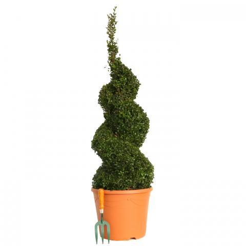 Clifton Nurseries Buxus sempervirens Spiral 100 - 110cm