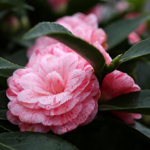 Clifton Nurseries Camellia japonica William Bartlett