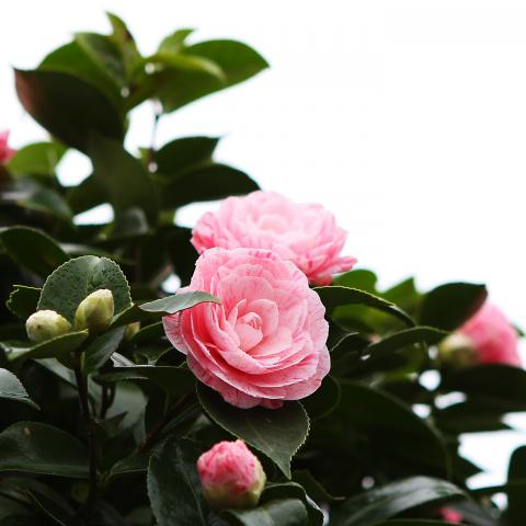 Clifton Nurseries Camellia japonica William Bartlett