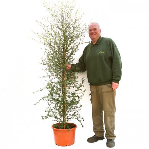 Clifton Nurseries Ceanothus Italian Skies Bush 25L 125-150cm