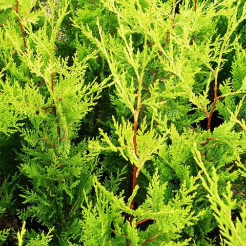 Clifton Nurseries - Cupressocyparis leylandii Excalibur Gold - Foliage