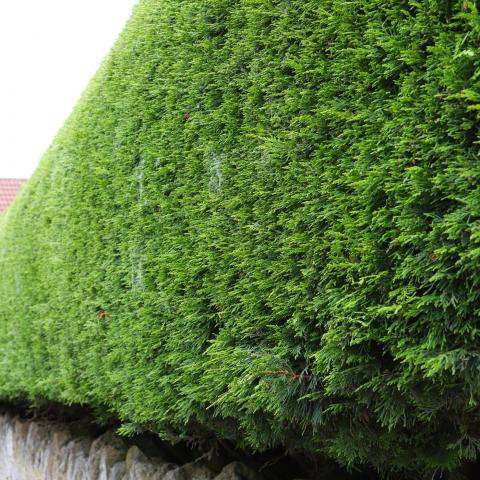 Clifton Nurseries Cupressocyparis leylandii - Hedge