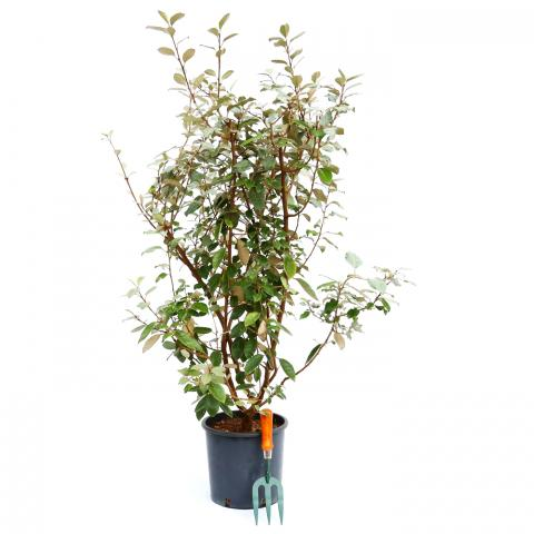 Clifton Nurseries Elaeagnus x ebbingei 10L