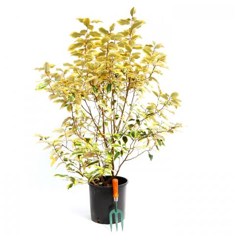 Clifton Nurseries Elaeagnus x ebbingei Gilt Edge - 10L