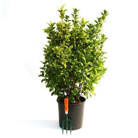 Clifton Nurseries Euonymus japonicus aureus - 10L